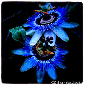 passionflower  blooms photo